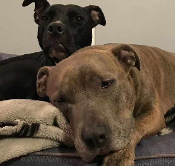 Most Popular Dogs: No. 5 Pit Bull