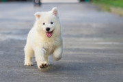 Why Samoyeds Smile And Other Fun Facts About Dogs